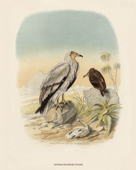 Fine Art Print of the Egyptian Scavenger Vulture by O V Riesenthal (1876)